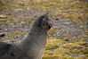 Fur-seal-2,-Salisbury-Plain,-South-Georgia-Island