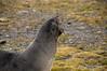 Fur-seal-2,-Salisbury-Plain,-South-Georgia-Island