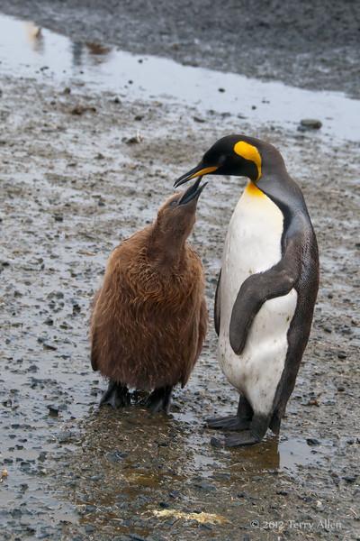 King-penguin-chick-feeding-1,-Salisbury-Plain,-South-Georgia-Island