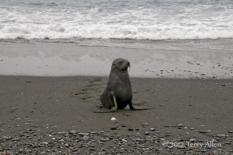 Young-fur-seal-1,-Salisbury-Plain,-South-Georgia-Island