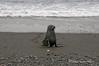 Young-fur-seal-1,-Salisbury-Plain,-South-Georgia-Island