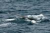 Humpback-whale-tail-4,-Bransfield-Strait, Antarctica