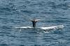 Humpback-whale-diving-2,-Bransfield-Strait, Antarctica