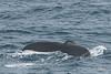 Humpback-whale-tail-3,-Bransfield-Strait, Antarctica