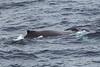 Humpback-whale-blowhole-2,-Bransfield-Strait, Antarctica
