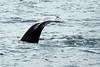 Albino-tailed-humpback-whale-1,-Bransfield-Strait, Antarctica