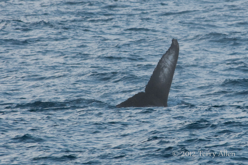 Humpback-whale-fin,-Bransfield-Strait, Antarctica
