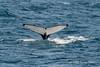 Humpback-whale-diving-3,-Bransfield-Strait, Antarctica