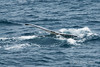 Humpback-whale-diving-4,-Bransfield-Strait, Antarctica