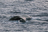 Humpback-whale-with-albino-tail-3,-Bransfield-Strait, Antarctica