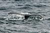 Humpback-whale-tail-2,-Bransfield-Strait, Antarctica