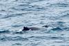 Humpback-whale-blowhole-1,-Bransfield-Strait, Antarctica