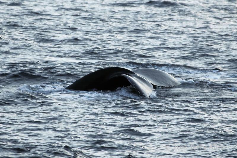 Albino-tailed-humpback-whale-3,-Bransfield-Strait, Antarctica