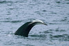 Humpback-whale-with-albino-tail-1,-Bransfield-Strait, Antarctica