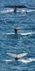 Humpback-whale-tails-composite, -Bransfield-Strait, Antarctica