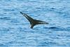 Humpback-whale-tail-5,-Bransfield-Strait, Antarctica