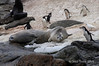 Crab-eater-seals-chinstraps-and-sheathbill,-Monroe-Island,-South-Orkney-Islands