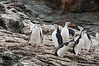 Chinstrap-penguins-1,-Monroe-Island,-South-Orkney-Islands
