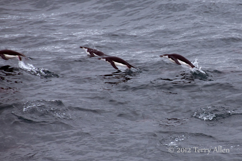 Leaping-chinstrap-penguins-3,-Monroe-Island,-South-Orkney-Islands