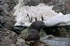 Fur-seal,-Monroe-Island,-South-Orkney-Islands
