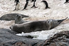 Crab-eater-seals,-Monroe-Island,-South-Orkney-Islands