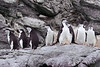 Individualilstic-chinstrap-penguin,-Monroe-Island,-South-Orkney-Islands