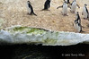 Chinstrap-penguins-and-algae-in-snow,-Monroe-Island,-South-Orkney-Islands