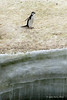 Lone-chinstrap-penguin-on-iceshelf,-Monroe-Island,-South-Orkney-Islands