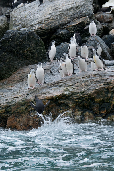 Chinstrap-penguin-dive,-Monroe-Island,-South-Orkney-Islands