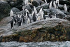 Chinstrap-penguins-leaping-out-of-water-2,-Monroe-Island,-South-Orkney-Islands