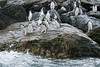 Chinstrap-pengiuns-jumping-into-water-3,-Monroe-Island,-South-Orkney-Islands