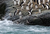 Chinstrap-pengiuns-jumping-into-water-1,-Monroe-Island,-South-Orkney-Islands
