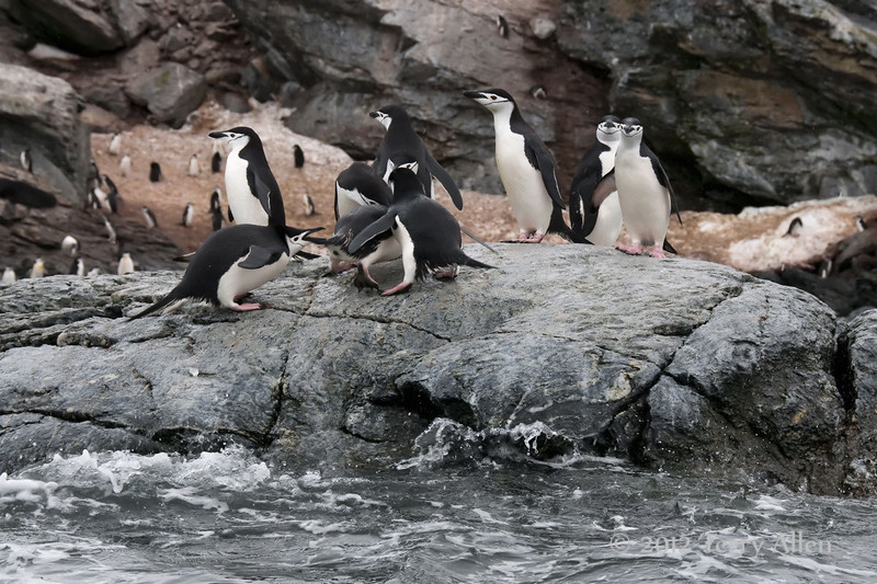 Chinstrap-penguin-squabble,-Monroe-Island,-South-Orkney-Islands
