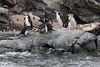 Chinstrap-penguin-squabble,-Monroe-Island,-South-Orkney-Islands