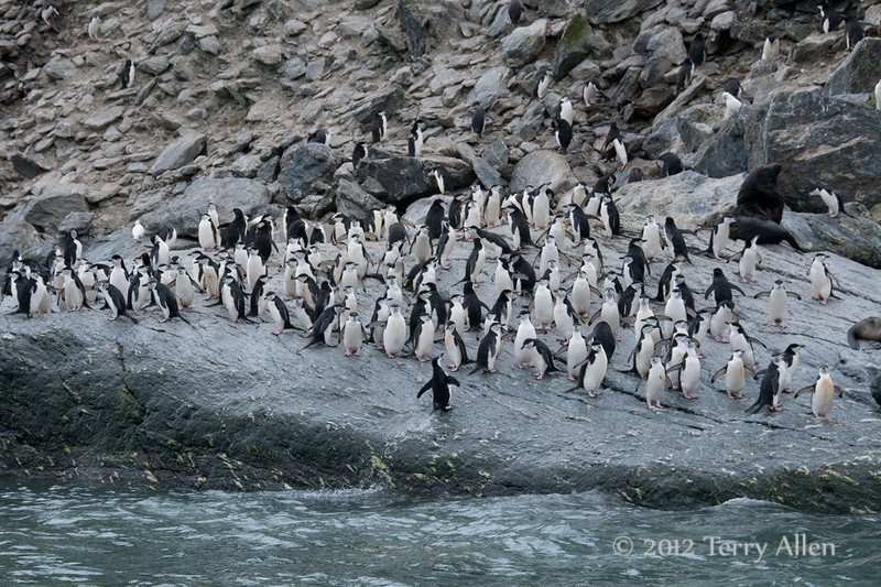 Chinstrap-penguin-leaping-out-of-water-1,-Monroe-Island,-South-Orkney-Islands