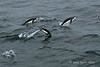 Leaping-chinstrap-penguins-2,-Monroe-Island,-South-Orkney-Islands