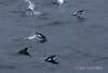 Leaping-chinstrap-penguins-1,-Monroe-Island,-South-Orkney-Islands