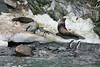 Chinstrap-penguins-and-fur-seals,-Monroe-Island,-South-Orkney-Islands