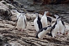 Chinstrap-penguins-alert-for-leopard-seal,-Monroe-Island,-South-Orkney-Islands