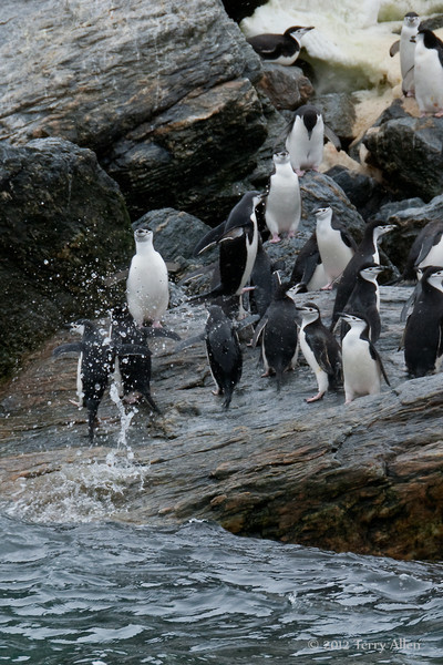 'Flying'-chinstrap-penguin,-Monroe-Island,-South-Orkney-Islands