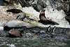 Chinstraps-penguins-with-dirty-snow-and-rocks-2,-Monroe-Island,-South-Orkney-Islands