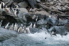 Chinstrap-penguins-entering-water,-Monroe-Island,-South-Orkney-Islands
