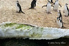 Chinstrap-penguins-on-iceshelf,-Monroe-Island,-South-Orkney-Islands