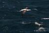 Royal-waved-albatross-1,-Beagle-Channel
