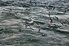 Kelp-gulls,-Ushuaia