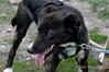 Sled-dog-3,-Ushuaia