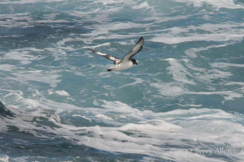 Cape-petrel-2,-Beagle-Channel