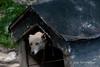 Sled-dog-2,-Ushuaia