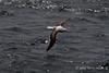 Royal-waved-albatross-2,-Beagle-Channel