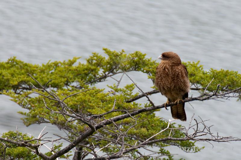 Tierra-de-Fuego-National-Park,-caracal